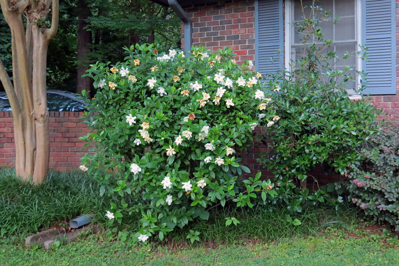 While the Frostproof Gardenia is winding down, the other Gardenia is just getting started.  This plant was in place when I moved in.  I wasn't sure what it was until I planted the Frostproof Gardenia a few spaces to the right and noticed the similarity between the flowers.  My neighbor confirmed my suspicions that it was some kind of Gardenia.