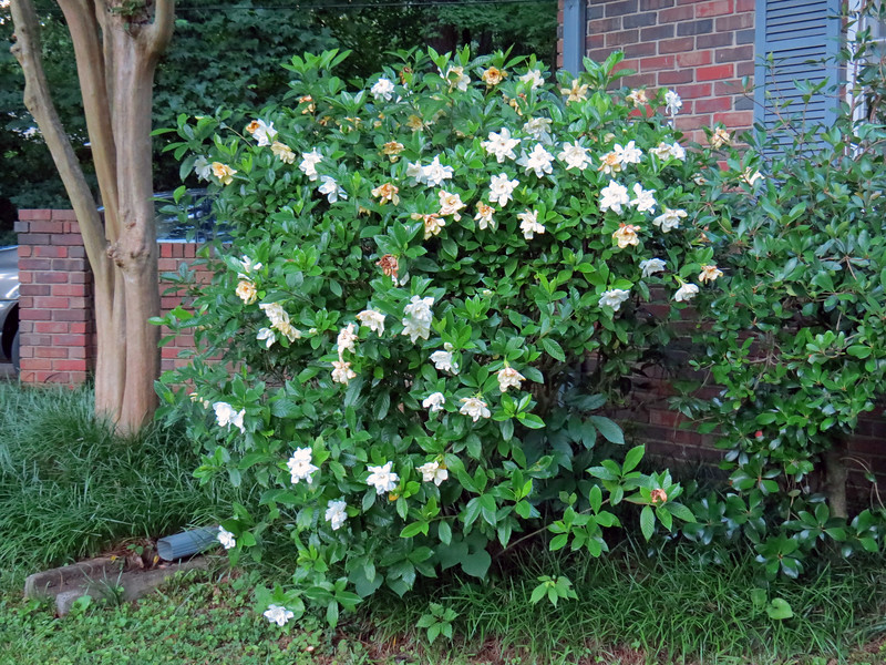 The other Gardenia in front of the house.