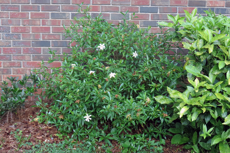 The Frostproof Gardenia began blooming last month and exploded three weeks ago with more blooms that I had seen in previous years.  A few flowers remain.