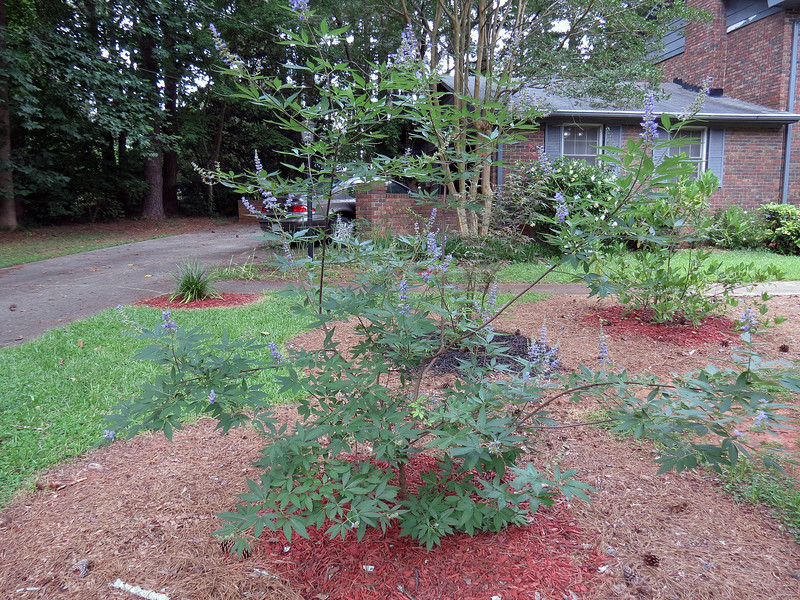 """I did some research and discovered that this plant is considered """"invasive"""" across some areas of the southern US.  """"Invasive"""" means that it can grow in just about any soil, take care of itself and spread rapidly, and isn't affected by pests or diseases.  In other words, it's perfect for me and my yard."""