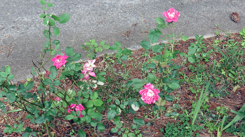 Several nice blooms on the rose bushes.