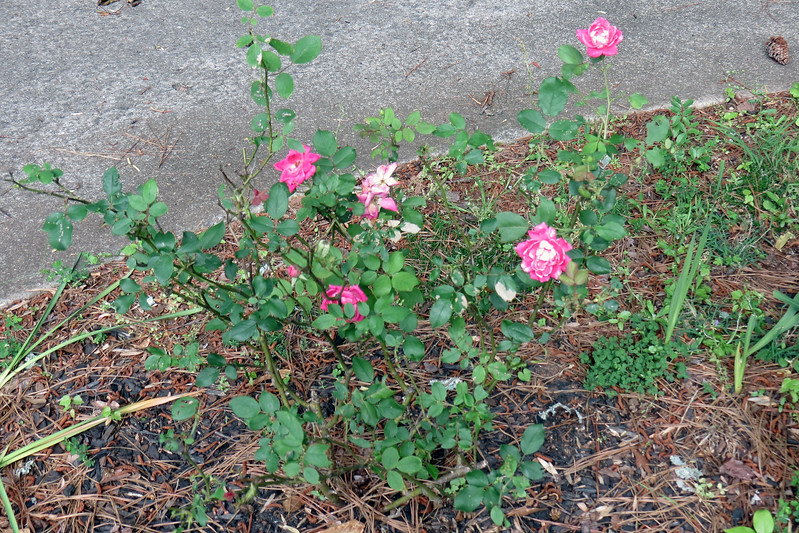 My rose bushes continue to surprise me in a good way.