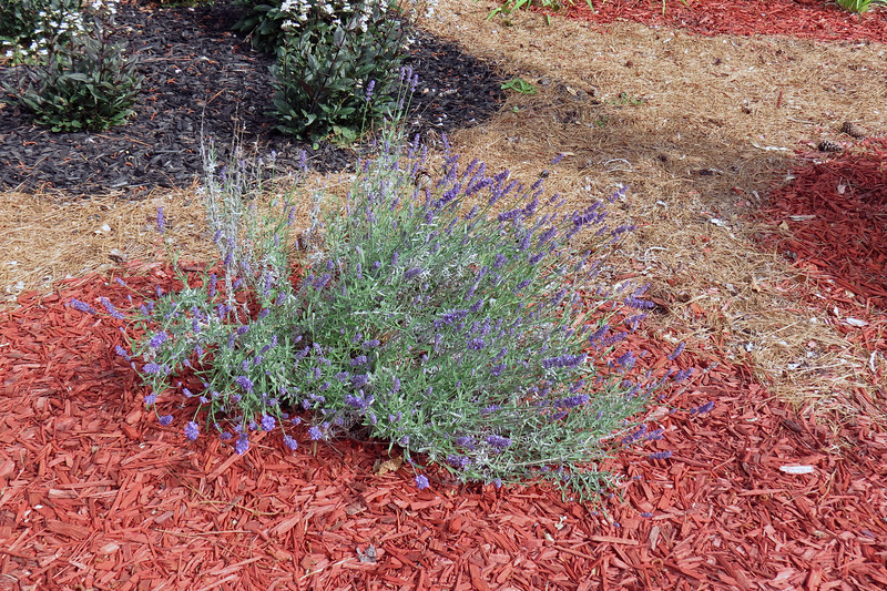 I've been hoping the one remaining Super Blue Lavender would recover.  Judging by the abundance of blooms, all seems to be well.