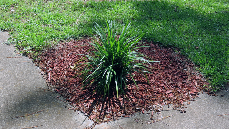 I found this ornamental grass cluster originally growing in the back yard.  The shape and symmetry caught my eye and made me think it would look good in this corner where my driveway and front walk meet.  So I moved it to this location last year.  That simple decision has become one of my favorite aspects of the front yard.  <br /> <br /> That got me thinking.  I have a few more smaller clusters of ornamental grass in the back yard.  I wonder how it would look if I scattered more clusters like this one around the front yard.  There's only one way to find out.