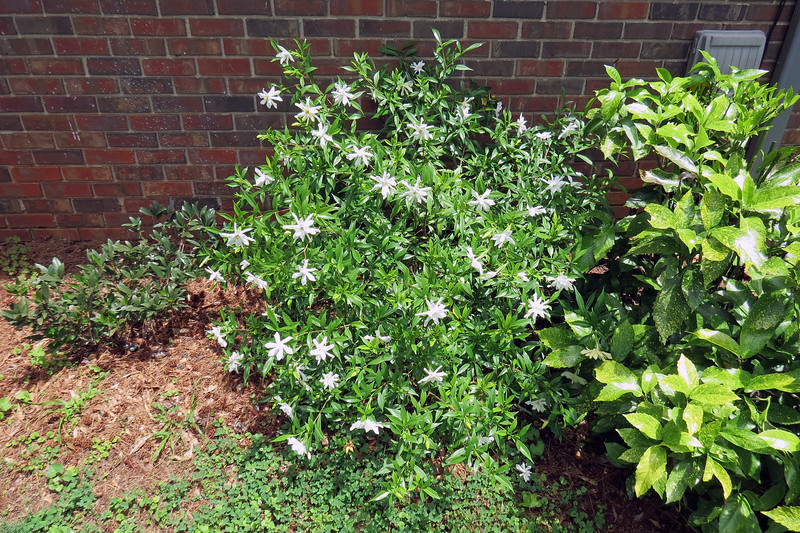 I was leaving for work today and made a wonderful discovery !  I've got A LOT of flowers on the Frostproof Gardenia this year.