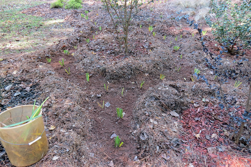 I planted as many bulbs as I could around the crape myrtles.