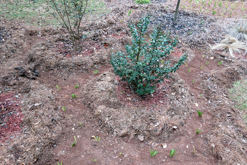 Now I had to concentrate on shrinking the red/black mulch areas around all of the individual clusters.  In the case of the crape myrtles, this made the available space quite wide.