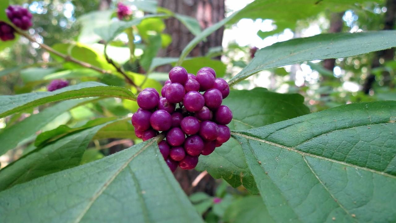 American Beautyberry bush.