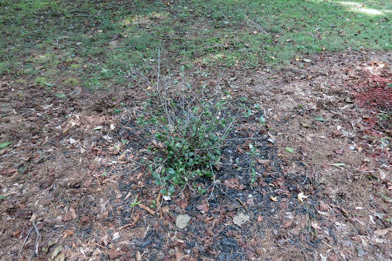 I see that the Eleanor Tabor Indian Hawthorn shrub I moved last month has survived the move, which is always good news.  I originally planted it directly in front of the house in March 2012 where it did ok, but not great.  I moved it to the mailbox area in April 2016 thinking more sun would be beneficial.  That idea, which looked good on paper, didn't work at all in practice.  It dropped most of its leaves shortly afterward, and then had to deal with an encroaching pampas grass plant.  So we'll see how this location works.