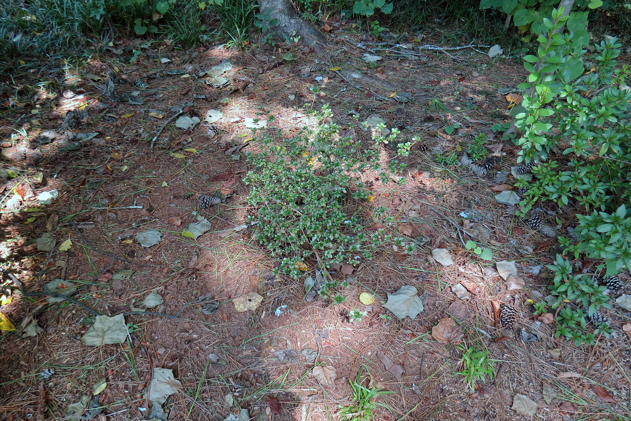 Relocating the Indian Hawthorn meant I had to find yet another home for the small azalea that previously occupied that space.  Since I hacked all of the azaleas next to the driveway this past spring, a decent gap has developed in between two of them large enough to fit this small shrub.  This is the fourth, and hopefully last location for this little guy.  He's survived the three previous moves and seems to be doing fine after this move.