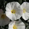 Morning Glory in full bloom