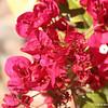 Bounguvilla in bloom