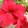 Petunia's in bloom