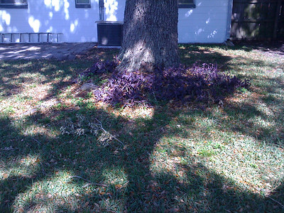 What is this purple stuff at the base of the tree?