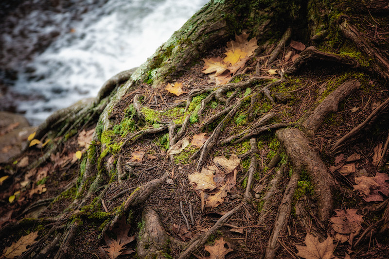 Catskill Landscapes: Mossy Tree Roots Above Bastion Falls. Catskill Mountains, Ulster County, Hudson River Valley. The Rip Van Winkle Trail, outside Palenville, New York