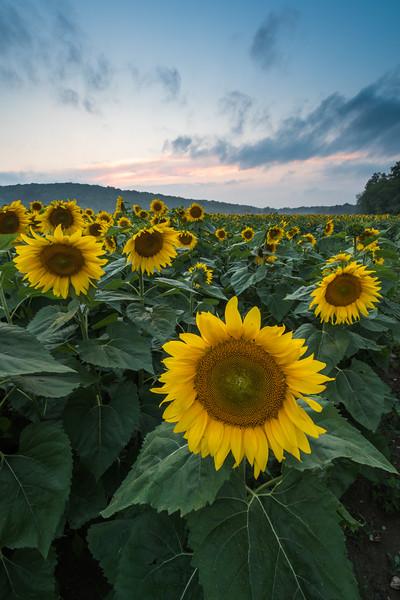 Blue Hour Sunflowers