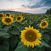 Blue Hour Sunflowers