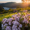 Early Morning Mountain Laurel