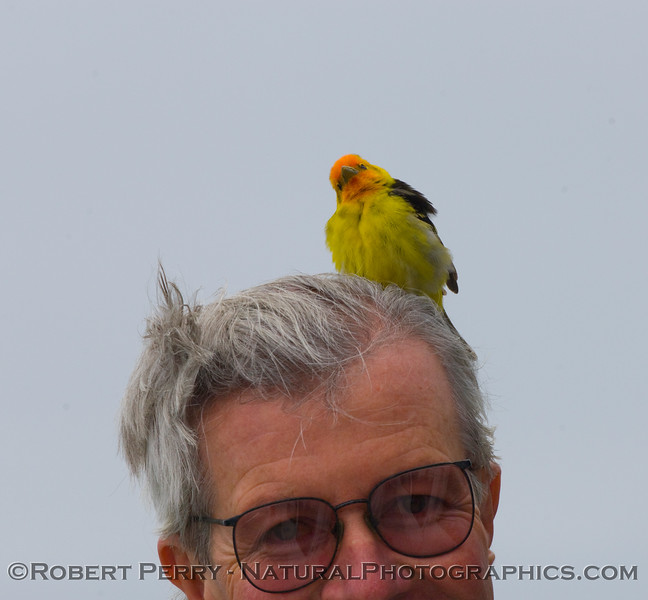 Western Tanager (<em>Piranga ludoviciana</em>) lands on the head of Dr. Mark aboard the vessel Condor Express which was many miles offshore at the time.  It was a Cetacean Society trip, but the tanager did not know it.
