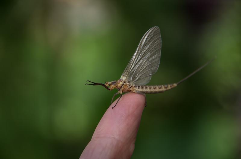 Hello Mayfly