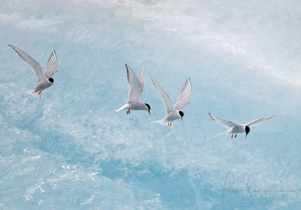Arctic Terns, Iceland. Highly Commended, Wildlife Photographer of the Year 2009