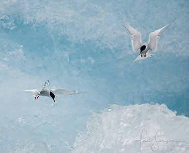 Arctic terns, Iceland. Finalist, Wildlife Photographer of the Year 2009