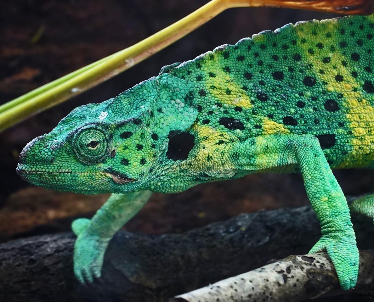 Zoo Atlanta.  Eye of the Iguana.