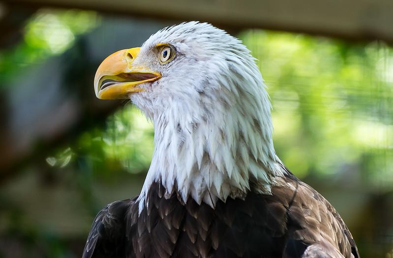 Zoo Atlanta.  The Bald Eagle.  Not looking at me.