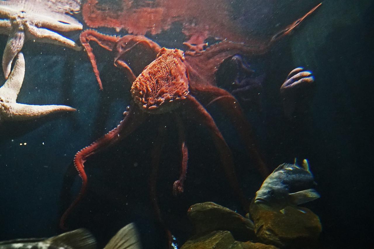 Aquarium Atlanta.  Octopus.  Climbing the Walls.