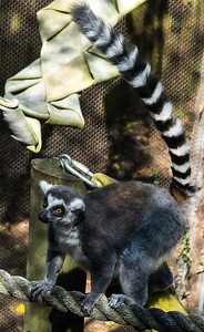 Zoo Atlanta.  Ring-Tailed Lemur