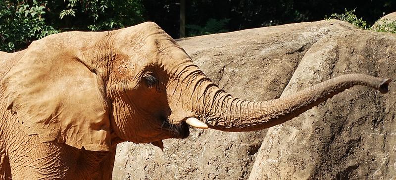 Zoo Atlanta.  Elephant.  Do elephants sneeze?