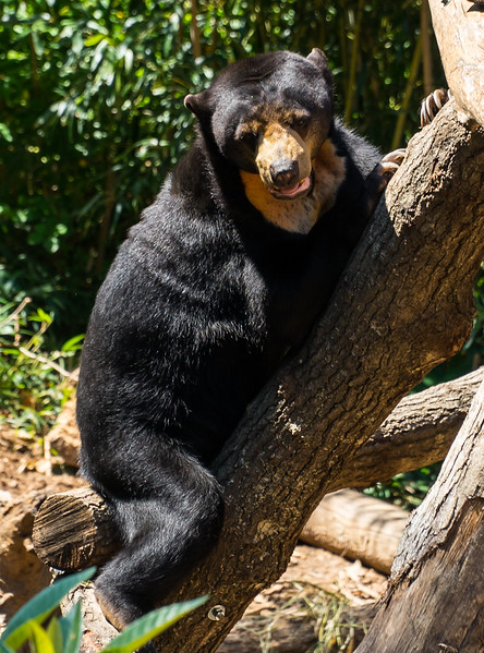 Zoo Atlanta.  Sun Bear, just warming itself on a tree trunk on a 90-degree afternoon.