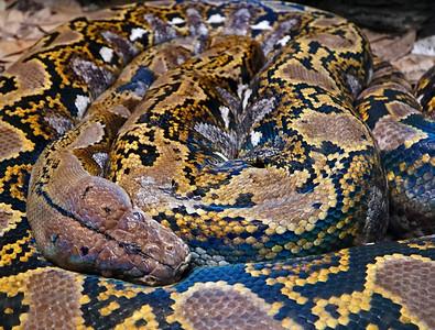 Zoo Atlanta.  Python Pattern.