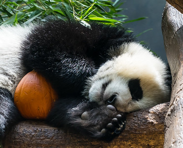 Zoo Atlanta.  Panda with Pet Pumpkin.