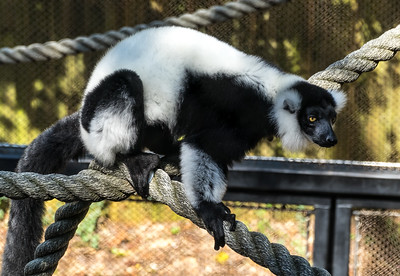 Zoo Atlanta.  Black-and-White Ruffed Lemur.