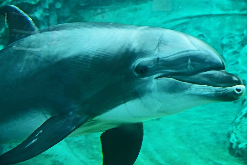 Aquarium Atlanta.  Dolphin.  Wearing reflection from glass like a mask.