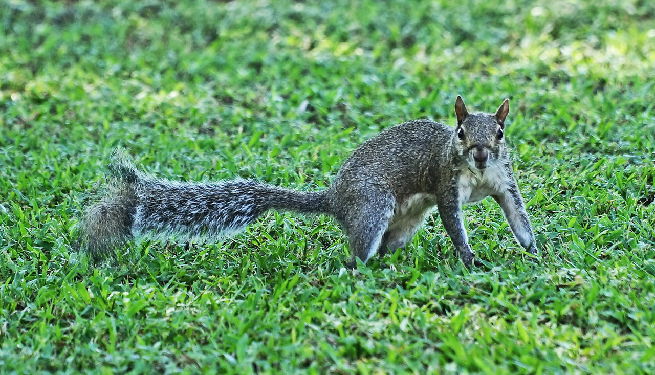 New Orleans, LA.   Armstrong Park.  Wild animal.