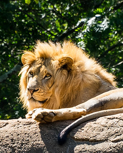Zoo Atlanta.  Lion.