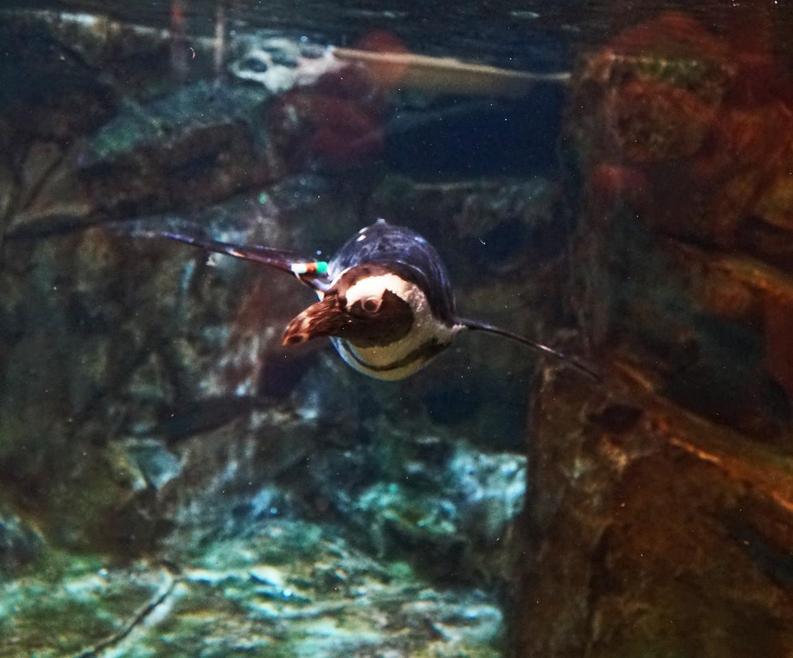 Aquarium Atlanta.  Penguin In Full Flight.