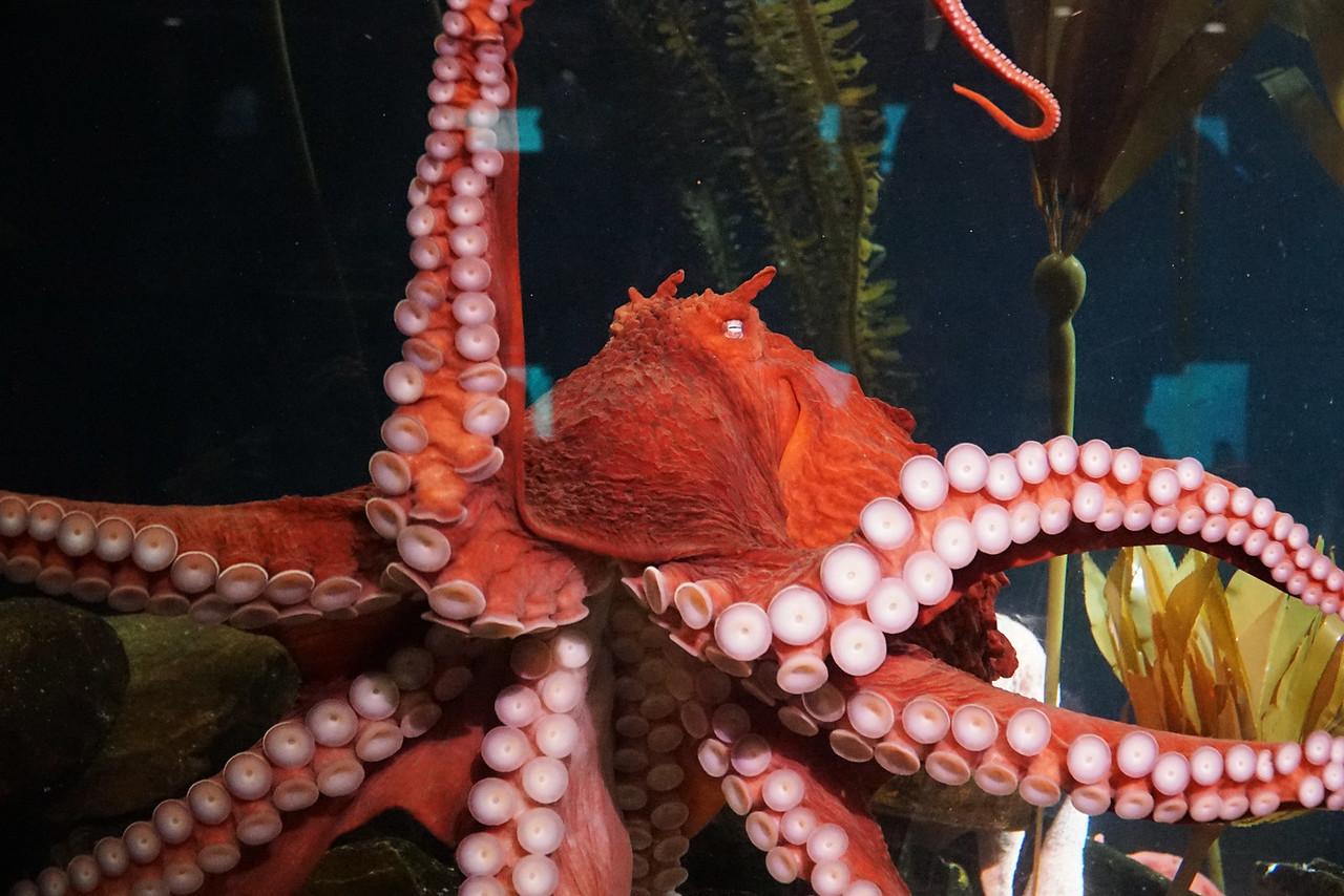 Aquarium Atlanta.  Octopus.  Dancing along the glass.