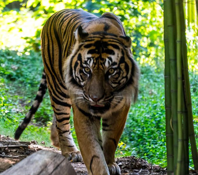 Zoo Atlanta.  Tiger.  She doesn't look happy.