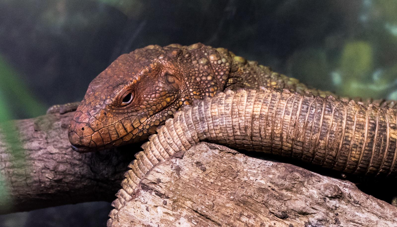 Zoo Atlanta.  The Beast Awakens.