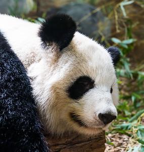 Zoo Atlanta.  Panda.