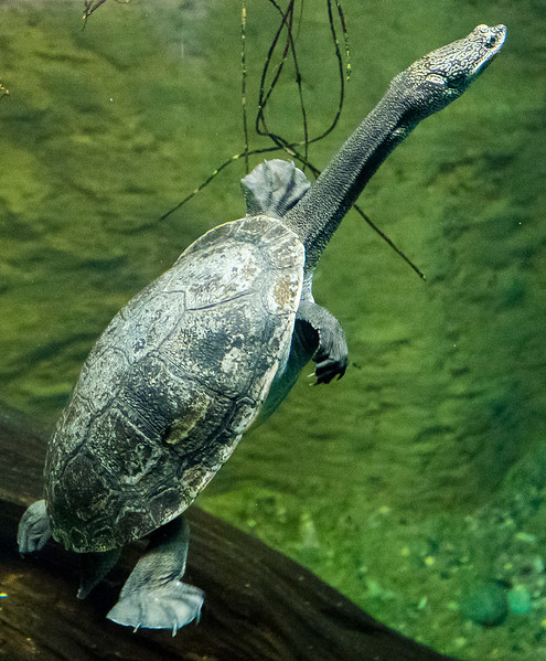 Zoo Atlanta.  Snake Neck Turtle.