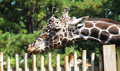 ZOO ATLANTA.  Giraffe feeding.