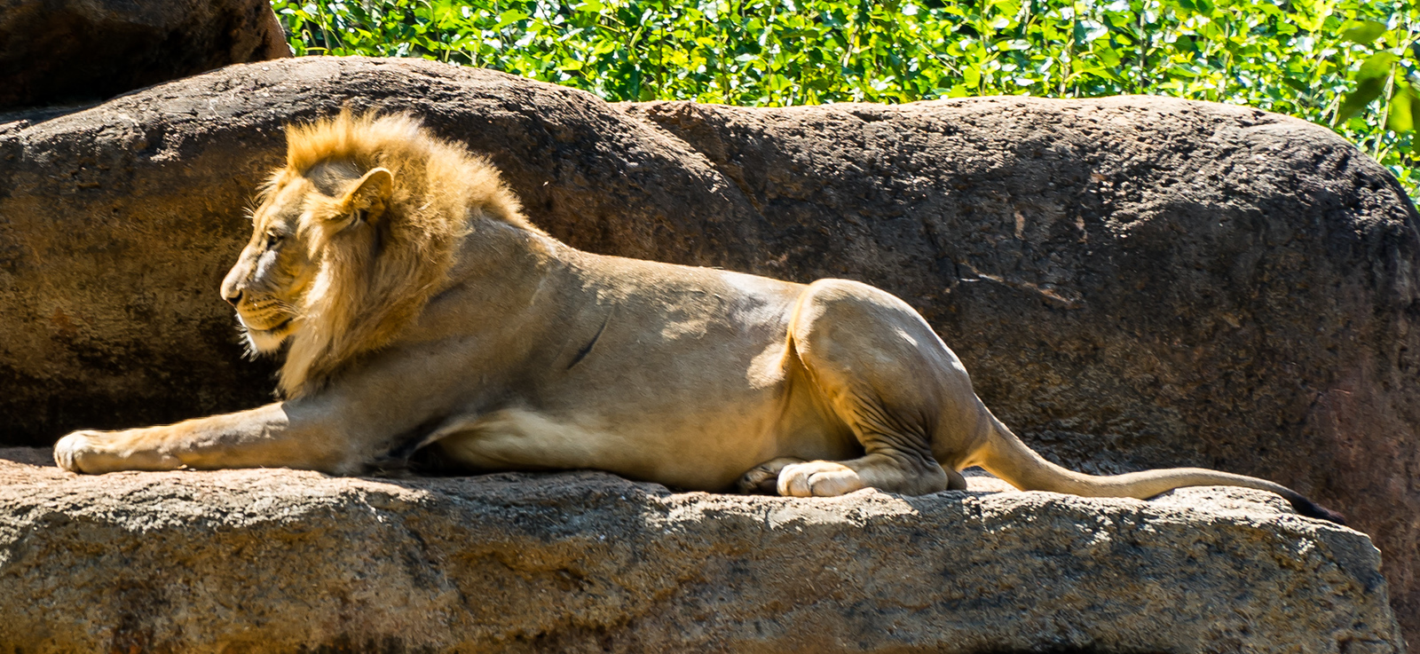 Zoo Atlanta.  Lion, playing Sphinx.