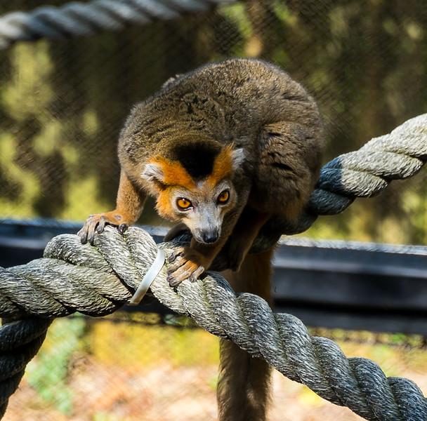 Zoo Atlanta.  Red-Fronted Lemur.