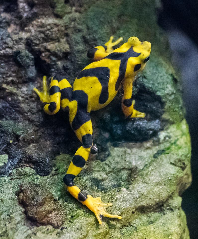 Zoo Atlanta.  Froggy looks hand-painted.