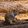 California Ground Squirrel in Little Yosemite Valley