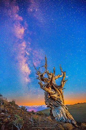 """""""Neverland,"""" Ancient Bristlecone Pine Forest Milky Way Sunrise, Inyo National Forest, White Mountains, California"""
